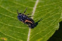 Stäng sig upp av larver för en harlekinnyckelpiga som vilar på ett grönt pilblad i en trädgård royaltyfria foton