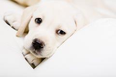 Stäng sig upp av ledsen valp av labrador på soffan Arkivfoto