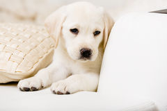 Stäng sig upp av ledsen valp på soffan med kudden Royaltyfria Bilder