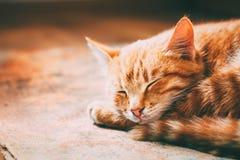 Stäng sig upp av lilla fridsamma orange röda Tabby Cat Male Kitten Curled Up som sover i hans säng på laminatgolv arkivfoton