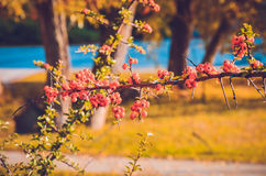 Stäng sig upp av ljusa röda pyracanthabär på träd Arkivbilder