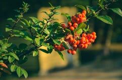 Stäng sig upp av ljusa röda pyracanthabär på träd Royaltyfria Bilder