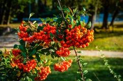 Stäng sig upp av ljusa röda pyracanthabär på träd Royaltyfri Bild