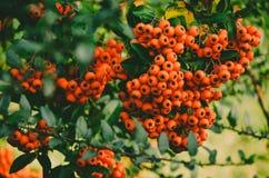 Stäng sig upp av ljusa röda pyracanthabär på träd Arkivfoto