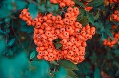 Stäng sig upp av ljusa röda pyracanthabär på träd Royaltyfri Foto