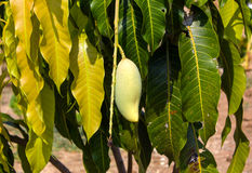 Stäng sig upp av mango på ett mangoträd Royaltyfria Foton