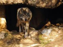 Stäng sig upp av mexikanen Grey Wolf Leaving Cave arkivfoto