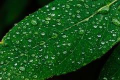 Stäng sig upp av mogna och saftiga kaprifolbär- och vatten- eller regndroppar på gröna sidor Royaltyfri Foto