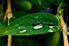 Stäng sig upp av mogna och saftiga kaprifolbär- och vatten- eller regndroppar på gröna sidor Arkivbilder