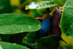 Stäng sig upp av mogna och saftiga kaprifolbär- och vatten- eller regndroppar på gröna sidor Arkivfoton