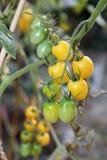 Stäng sig upp av nya gula druvatomater på en stam i en grönsakträdgård Fotografering för Bildbyråer