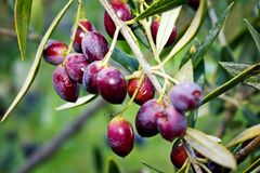 Stäng sig upp av oliv på olivträdet i Grekland Arkivbild