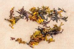 Stäng sig upp av orange havsväxt på den fina sandiga stranden Royaltyfri Foto