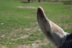 Stäng sig upp av päls- en åsnas öra mot ett grönt fält royaltyfri bild