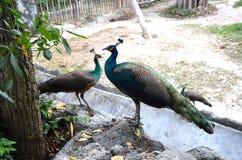 Stäng sig upp av påfåglar med stängda svansar som sitter på stenarna vid trädet royaltyfri bild