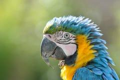Stäng sig upp av papegoja Arkivfoton