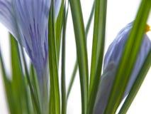Stäng sig upp av purpurfärgad spirande krokus arkivfoto