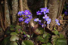 Stäng sig upp av purpurfärgade violetta blommablåsippanobilis, gemensamma Hepa Royaltyfri Fotografi