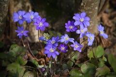 Stäng sig upp av purpurfärgade violetta blommablåsippanobilis, gemensamma Hepa royaltyfria foton