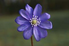 Stäng sig upp av purpurfärgade violetta blommablåsippanobilis, gemensamma Hepat Arkivfoton