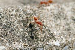 Stäng sig upp av röd myra royaltyfri foto