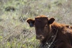 Stäng sig upp av röda Dexter Cow, betraktat en sällsynt avel som in sitter, betar arkivbilder