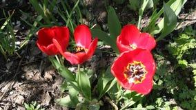 Stäng sig upp av röda tulpan som blommar i vårsolsken stock video