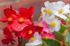 Stäng sig upp av röda vit- och rosa färgsängkläderväxter Fotografering för Bildbyråer