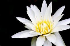 Stäng sig upp av ren vit lotusblomma på svart bakgrund Arkivfoto