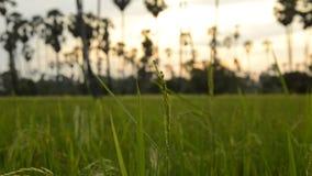 Stäng sig upp av risfält som ut zoomar till fältlandskapet arkivfilmer