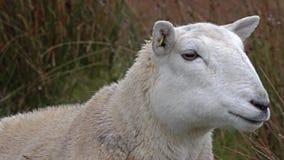 Stäng sig upp av roliga tuggafår i Skotska högländerna av Skottland stock video