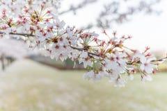 Stäng sig upp av sakura den körsbärsröda blomningen, grund DOF Royaltyfria Bilder