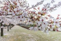 Stäng sig upp av sakura (den körsbärsröda blomningen), grund DOF Royaltyfri Foto