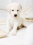 Stäng sig upp av sammanträde på soffavalpen av labrador arkivfoton