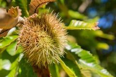 Stäng sig upp av Sativa frö för den kastanjebruna castaneaen i de skyddande spetsiga skalen Royaltyfri Foto