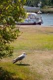 Stäng sig upp av seagullen som står på en gräsmatta royaltyfri fotografi