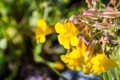 Stäng sig upp av Seep apablomman (den Mimulus guttatusen) som blommar på ängarna av södra San Francisco Bay område, Santa Clara C arkivbilder