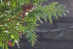 Stäng sig upp av sidorna av vitt cederträ för Thujaoccidentalis med mogna kottar arkivfoto