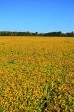 Stäng sig upp av soybeans Royaltyfri Foto