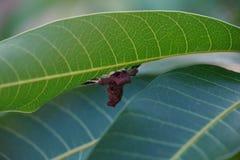 Stäng sig upp av spindelmal på bladet för mangoträdet royaltyfri foto