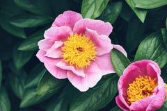 Stäng sig upp av stora rosa pionblommor i trädgården Härlig perenn blommande buske arkivfoto