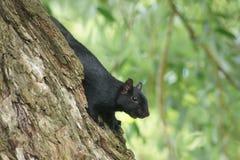 Stäng sig upp av svart ekorre på sida av trädet Royaltyfri Foto