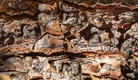 Stäng sig upp av texturen av det prydliga trädskället royaltyfri fotografi