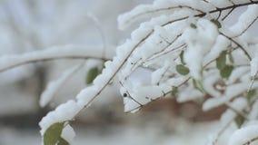 Stäng sig upp av trädfilialen som täckas med det tjocka lagret av ny snö som är bakbelyst av solen i vinterskog på ljus sol stock video