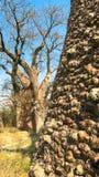 Stäng sig upp av trädstammen av det Boabab trädet och en boabab i bakgrunden arkivfoton