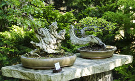 Stäng sig upp av två bonsaitrees Arkivbilder