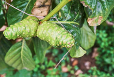 Stäng sig upp av två exotiska frukter som kallas nonien Royaltyfri Foto