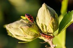 Stäng sig upp av två Firebugs på stängda knoppar av rhododendron med narural grön bakgrund grunt djupfält royaltyfri foto