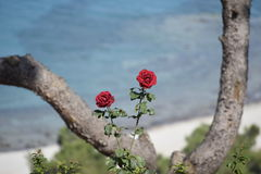 Stäng sig upp av två röda rosor med det Aegean havet i bakgrunden fotografering för bildbyråer
