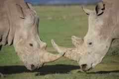 Stäng sig upp av två vita noshörningar som är förlovade i kurtisuppförande fotografering för bildbyråer